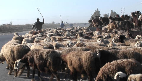 A man herds sheep near a road in Iran Footage