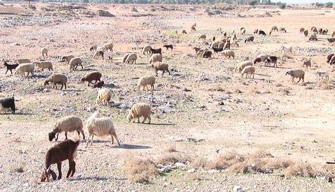 Goats and sheep cross a barren plain in Iran Footage