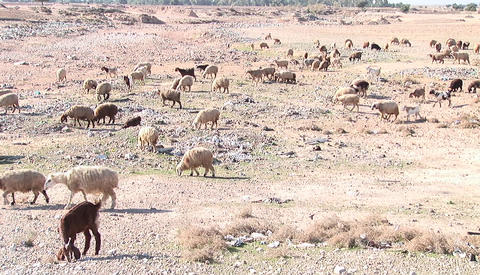 Goats and sheep cross a barren plain in Iran Stock Video Footage