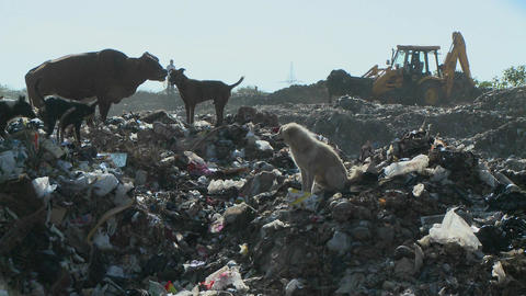 Dogs and a cow walk through a garbage dump as a crane works Stock Video Footage