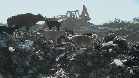 Dogs and a cow walk through a garbage dump as a crane works Footage