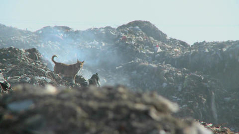 A couple of dogs walk on piles of smoldering rubbish Footage