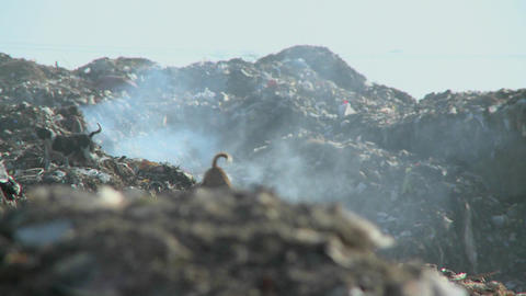 A couple of dogs walk on piles of smoldering rubbish Stock Video Footage