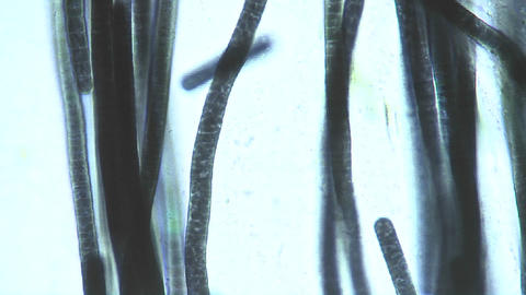 Microscopic view of Phormidium sp. blue green algae as they slowly move as if gliding cell by cell Footage