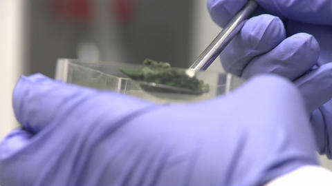Hand with purple glove pours frozen cyanobacteria algae... Stock Video Footage
