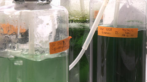 Three Flasks Containing Algae Being Aired Under Laboratory Lighting Conditions. Cultures Of Cyanobac stock footage