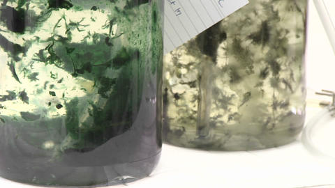 Algae flasks. Beautiful algal matts moving with aeration via CO2 in a photo-bioreactor Footage