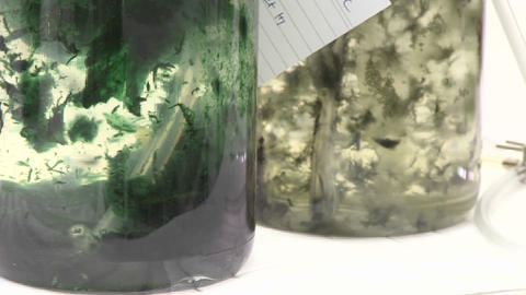 Algae flasks. Beautiful algal matts moving with aeration... Stock Video Footage