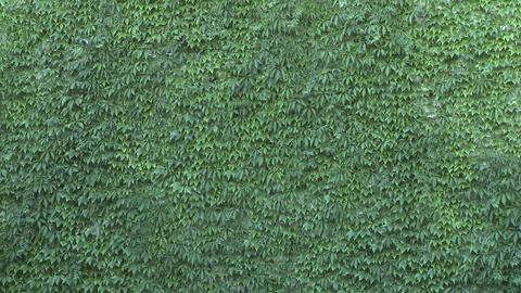 Green wall with leaves being shaken by the wind. Green... Stock Video Footage