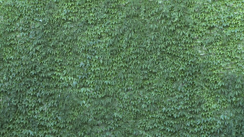 Green wall with leaves being shaken by the wind. Green walls are alternatives for heat shields, and Live Action
