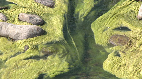 Zoom out of algae growing in the Ventura River near Ojai,... Stock Video Footage