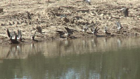 Swallows gathering mud at a restored wetlands at the Ojai Meadow Preserve in Ojai, California Footage