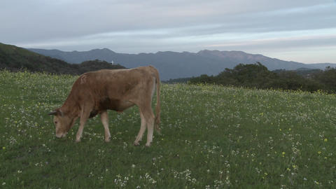 Cow grazing in a field in Ojai, California Stock Video Footage