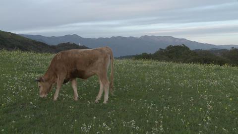 Cow grazing in a field in Ojai, California Stock Video Footage