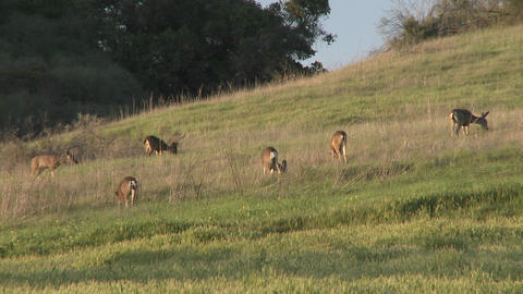 Herd of Black-tailed Deer grazing in a field in Oak View, California Footage