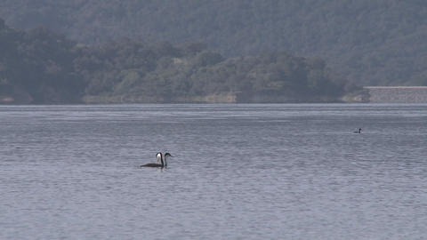 Panning grebes and motorboat passing on Lake Casitas... Stock Video Footage