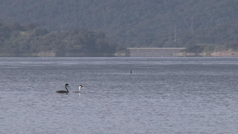 Panning grebes and motorboat passing on Lake Casitas Recreation Area in Oak View, California Footage