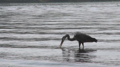 Great Blue Heron (Ardea herodias) walking in Lake Casitas... Stock Video Footage