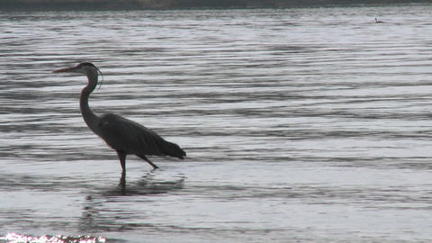 Great Blue Heron (Ardea herodias) walking in Lake Casitas Recreation Area in Oak View, California Footage