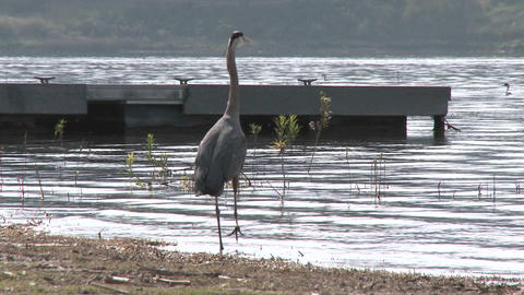 Great Blue Heron (Ardea herodias) landing at Lake Casitas... Stock Video Footage