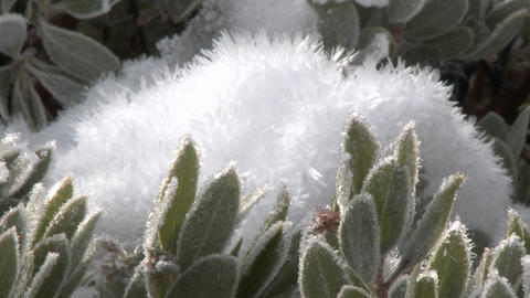 Zoom out on snow and frost on a manzanita tree in Los Padres National Forest above Ojai, California Footage