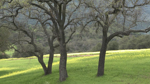Zoom out on green pasture with Valley and Live Oaks... Stock Video Footage