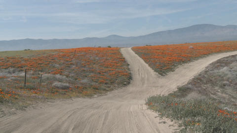 Point of view driving through california poppies in bloom just outside the Antelope Valley Poppy Pre Footage