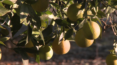 Close up rack focus on oranges on a tree in Ojai, California Stock Video Footage