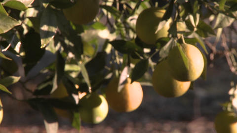 Close up rack focus on oranges on a tree in Ojai, California Footage
