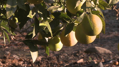 Close up on oranges on a tree in Ojai, California Footage