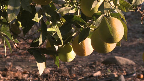 Close up on oranges on a tree in Ojai, California Stock Video Footage