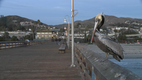 Brown pelican taking off from the Ventura Pier in... Stock Video Footage