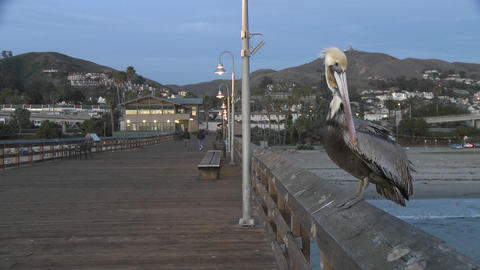 Brown pelican taking off from the Ventura Pier in Ventura, California Footage