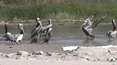 Brown pelicans and cormorants in the Ventura River... Stock Video Footage
