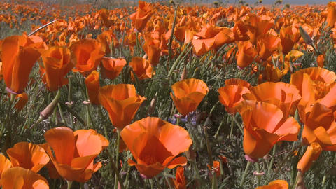 Low point of view of california poppies in bloom in the Antelope Valley Poppy Preserve, California Footage