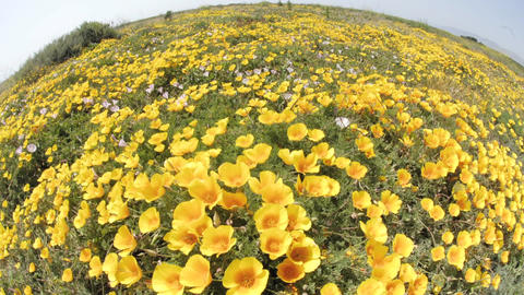 Wide time lapse of California Poppies blowing in the wind... Stock Video Footage