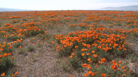 Wide pan of california poppies in bloom blowing in the wind at the Antelope Valley Poppy Preserve, C Footage