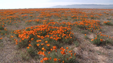 Wide pan of california poppies in bloom blowing in the... Stock Video Footage