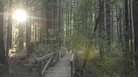 Time lapse of sun flares setting through Coastal Redwoods and path in Redwoods State Park, Humbolt Footage