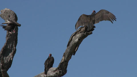 Turkey Vulture (Cathartes aura) sunning themselves on the... Stock Video Footage