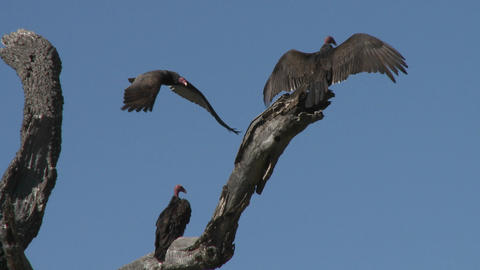 Turkey Vulture (Cathartes aura) sunning themselves on the Ojai Meadow Preserve, California Footage