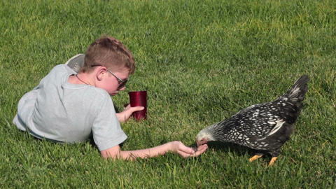 Pet chicken hand fed by young boy P HD 2484 Footage