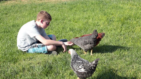 Pet chickens hand fed by young boy P HD 2480 Footage