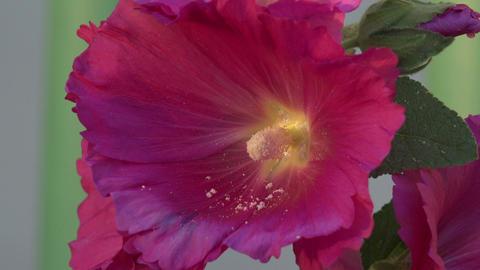 Pink purple Hollyhock flower close 4K Footage