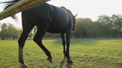 Graceful colt grazing on lush field, beautiful horse eating grass at stud farm Footage