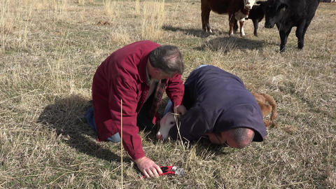 Rancher insert identification ear tag in calf 4K 001 Footage