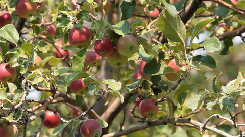Red apples on tree P HD 2056 Footage