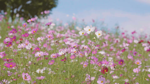 Cosmos Flowers,at Showa Kinen Park,Tokyo,Japan,Filmed in 4K Footage
