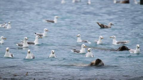 Sealion seagulls catch and eat salmon Alaska P HD 7471 Live Action