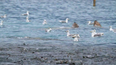 Sealions and seagulls eating salmon in bay P HD 7467 Footage